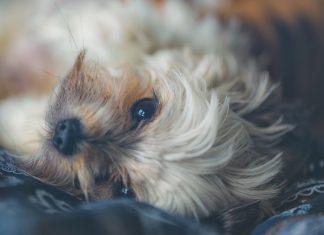 anxiete chien